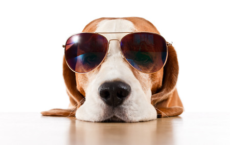 sunglasses isolated: cute dog in sunglasses, isolated on white