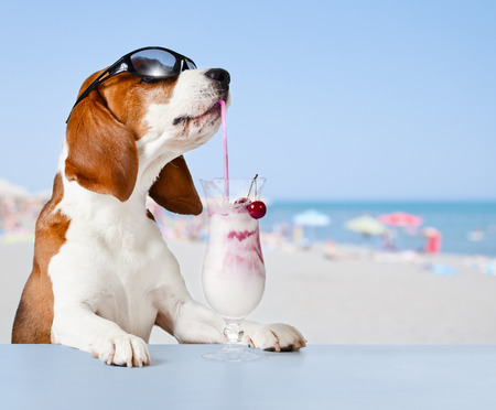 The cute beagle drinks  cocktail in bar on a beach