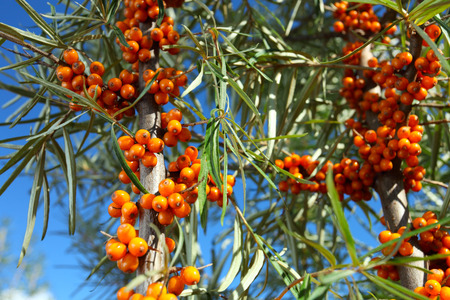 pharmacology: sea-buckthorn berries contain vitamin C , are used in pharmacology, medicine, cosmetology