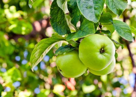 arbol de manzanas: Primer plano de las manzanas verdes en un árbol
