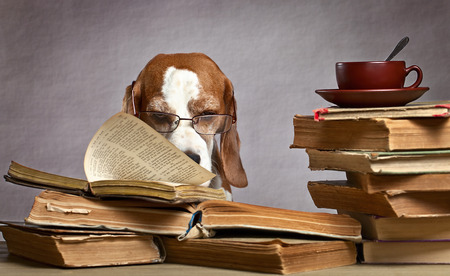 The very smart beagle in glasses studying old books