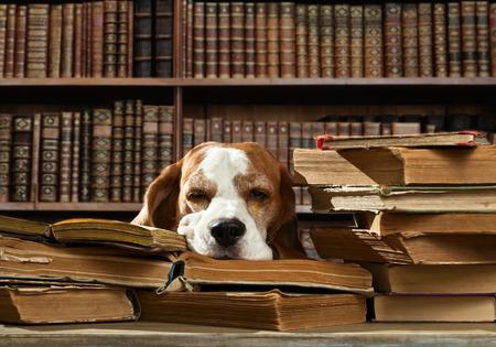 libros abiertos: Perro muy inteligente cree en la biblioteca