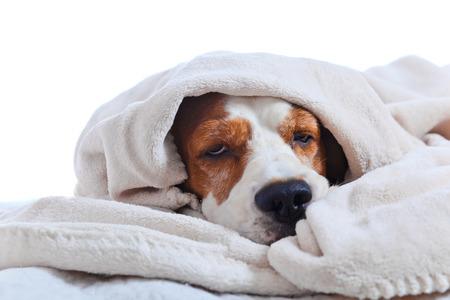 chory: Bardzo chory pies pod kocem, odizolowane na białym