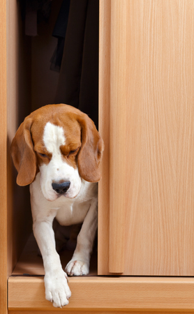 closet door: The missing dog has climbed in a wardrobe Stock Photo