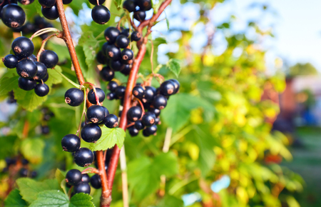 black currant, ripe berries on a branch in garden