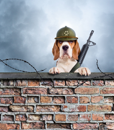 The sentry dog with gun in a helmet very attentively observes. The Beagle on the old brick wall on the background of the cloudy sky . Stock Photo