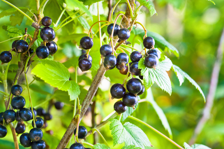 Black currant, ripe berries on a branch in garden .