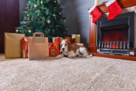 Cute dog near a Christmas tree with gifts.