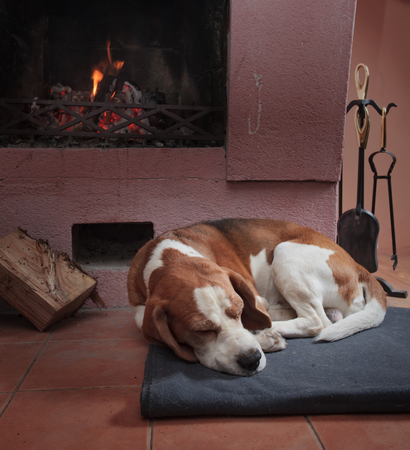 Beagle dog resting on the floor by the fireplace .