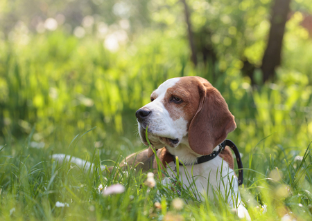 Beagle dog in the summer forest lying on a green grass.
