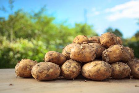 Close up of ripe raw potatoes on table in garden.