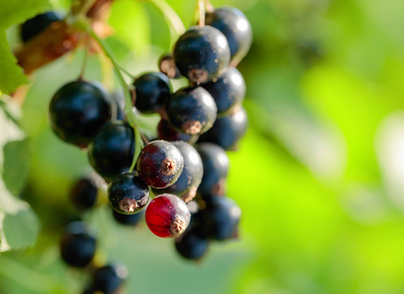 Blackcurrants on the bush branch in the garden. Zdjęcie Seryjne