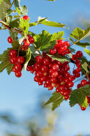 Redcurrants on the bush branch in the garden. Healthy organic food.