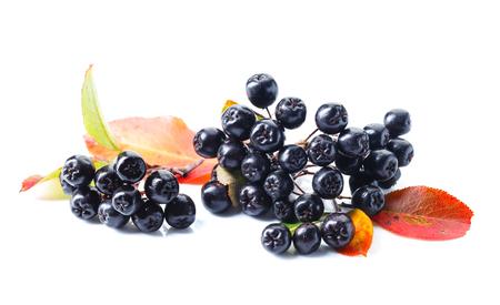Aronia czarna (aronia melanocarpa) z jesiennych liści na białym tle.