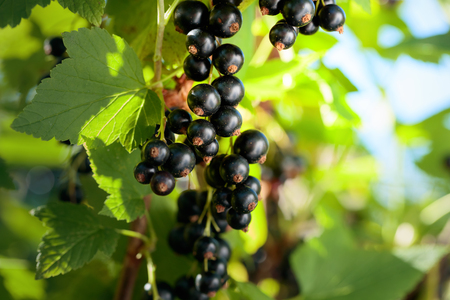 Blackcurrants on the bush branch in the garden. Stok Fotoğraf