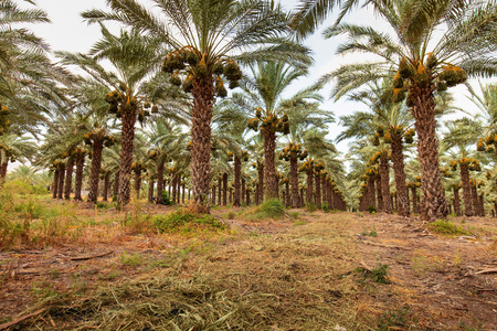 Orchard with palm date trees against a blue and cloudy sky. 免版税图像
