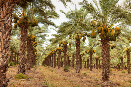 Orchard with palm date trees against a blue and cloudy sky. Reklamní fotografie
