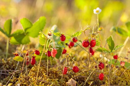 Wild strawberries growing in a natural environment. Wild strawberries at sunny day in forest.