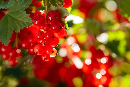 Red currants on the bush branch in the garden. Selective focus.