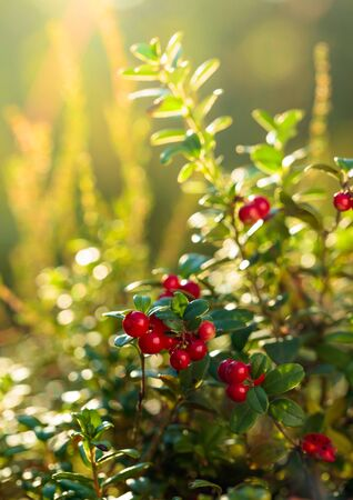 Red cowberry, lingonberry or partridgeberry. Forest natural background. Main source of vitamins in the winter. Growing in Northern Europe, America and Russia. Imagens