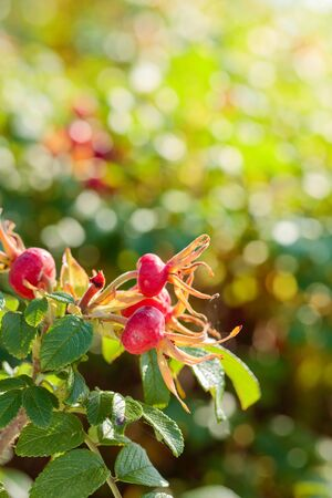 Berries of a dogrose on a bush. Fruits of wild roses. High content of vitamin C.