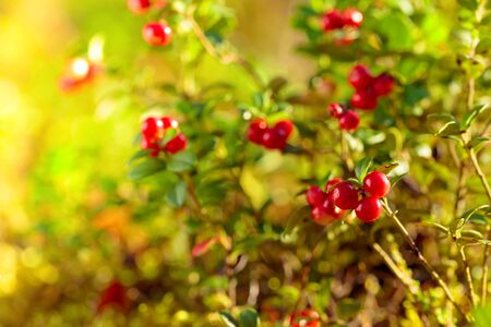 Red cowberry, lingonberry or partridgeberry. Forest natural background. Main source of vitamins in the winter. Growing in Northern Europe, America and Russia.