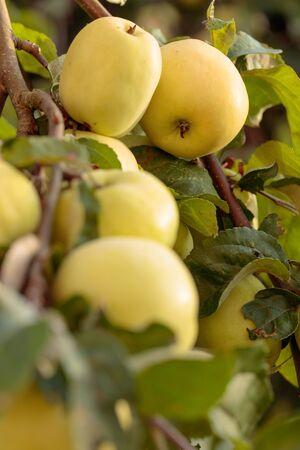 Green apples on a tree in garden. Stockfoto
