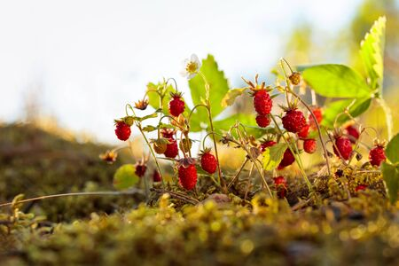 Wild strawberries growing in a natural environment. Wild strawberries at sunset in forest.