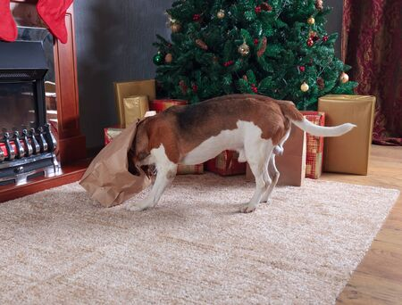 Funny dog checks Christmas gifts. Beagle in empty room with Christmas decorations.
