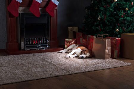 Funny dog  rest on carpet near to fireplace. Beagle in empty room with Christmas decorations. Zdjęcie Seryjne