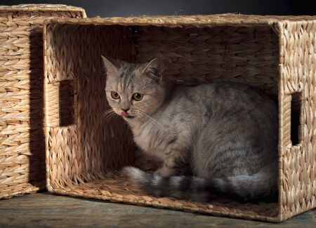 Funny Scottish straight kitten in a box on a black background.