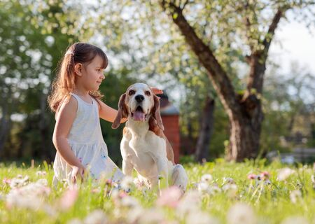 Happy little girl playing with dog in garden. Four-year-old girl on a Sunny summer day with a Beagle on a lawn with daisies. Zdjęcie Seryjne