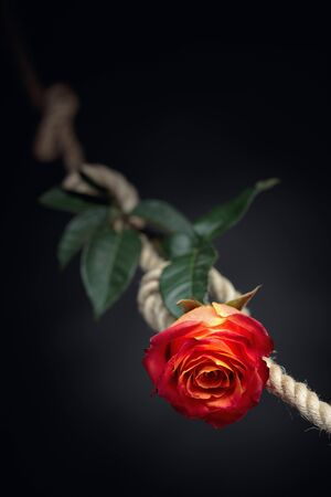 Red rose is tied with a rough rope. The concept of slavery or hostage, restriction of freedom. Copy space.