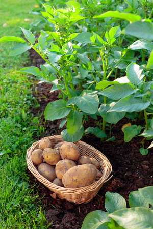 Natural vegetable fresh agriculture food. Raw  potato in basket on a bed.