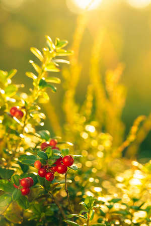 Red cowberry in the forest in summer sunny day. The main source of vitamins in the winter. Growing in Northern Europe, America, and Russia. Selective focus.