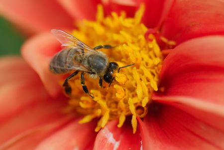A close-up of the bee on the red flower photo