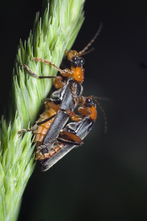 conjugation: Two coupled bugs Stock Photo
