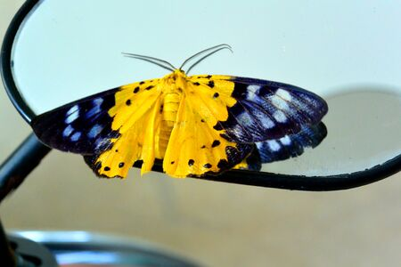 black yellow butterfly on a motorcycle mirror Archivio Fotografico - 131810541