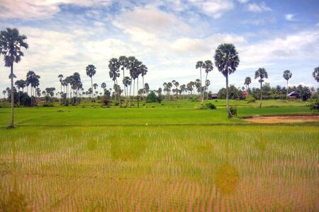 Landscape of Southeast Asia in the rainy season 7, palm and shoots of young rice, Cambodia Stock fotó