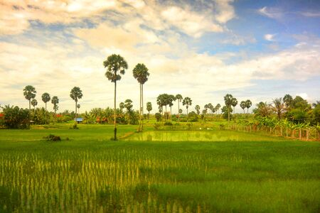 Southeast Asian landscape in rainy season 4, two palm trees in a rice field, Cambodia