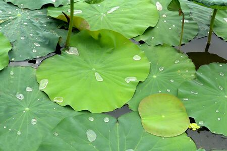Green lotus leaf with water droplets on a lake, Cambodia Archivio Fotografico - 138110197