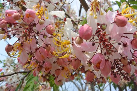 Cassia Bakeriana tree blooms with beautiful pink and white flowers, Siem Reap, Cambodia