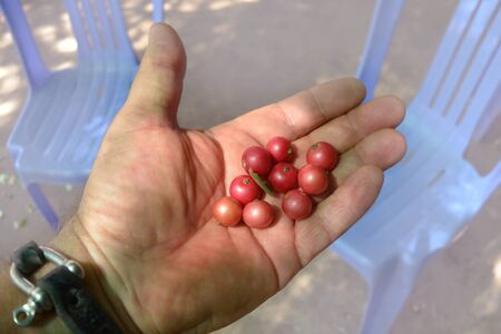 Red sweet berries of Flacourtia indica lie on the palm of a hand, Sihanoukville, Cambodia