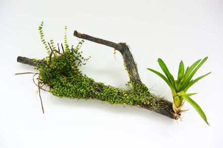 Dry tree branch with green plants, isolated, white background on the wall
