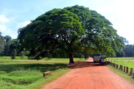 Giant tree with a dense crown near the orange road