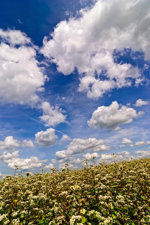 Buckwheat blossom field with blue sky and clouds. Portrait orientation photo