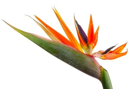 ave del paraiso: Una flor y saturados tropicales sobre fondo blanco. Foto de estudio, no aislado Foto de archivo