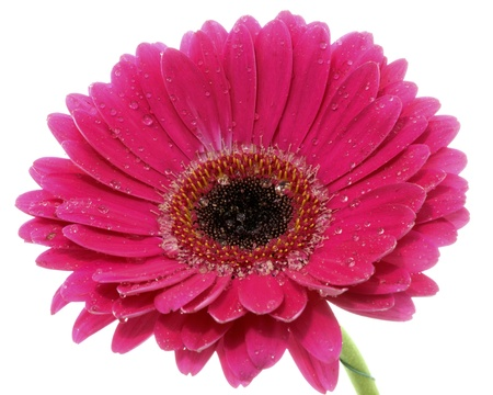 Close-up view to pretty gerbera Stock Photo - 10821870