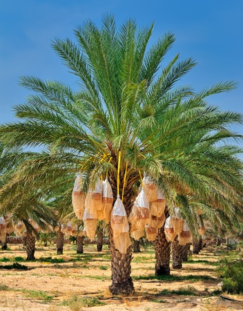 date tree: Date palm tree before harvesting. Tunisia, Africa Stock Photo