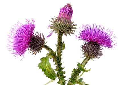 thistle: Close-up view to blooming burdock (Arctium lappa) on white background. Not isolated, studio shot Stock Photo